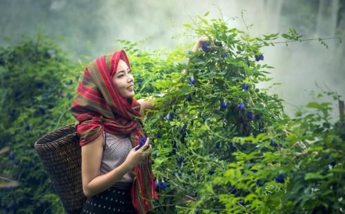 Divine Lotus Healing Lady Harvesting Flowers Buy Essential Oils
