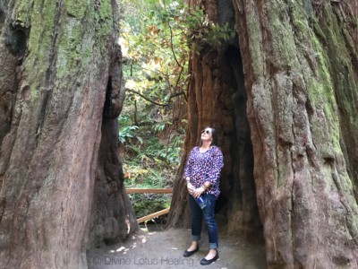 Divine Lotus Healing Redwoods Channeled Message Tree Inside