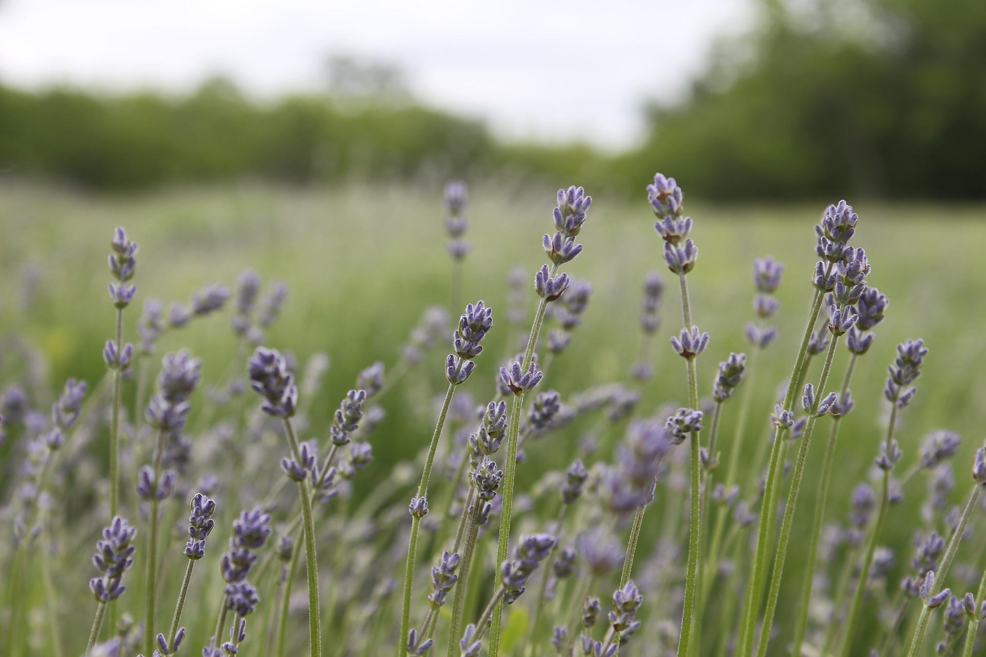 Divine Lotus Healing Lavender Field Essential Oils
